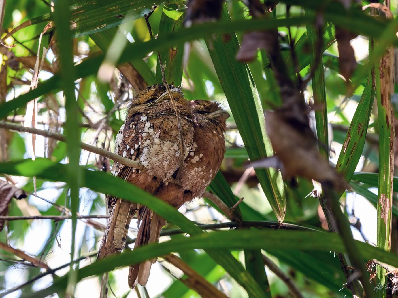 Sri Lanka Frogmouth - Abhishek Das