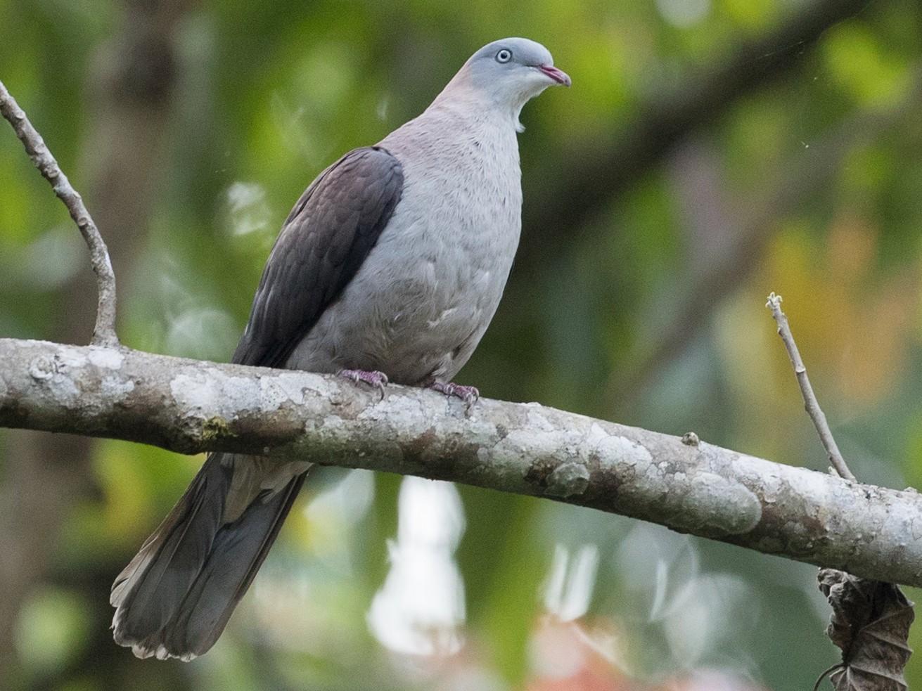Mountain Imperial-Pigeon - Ian Davies