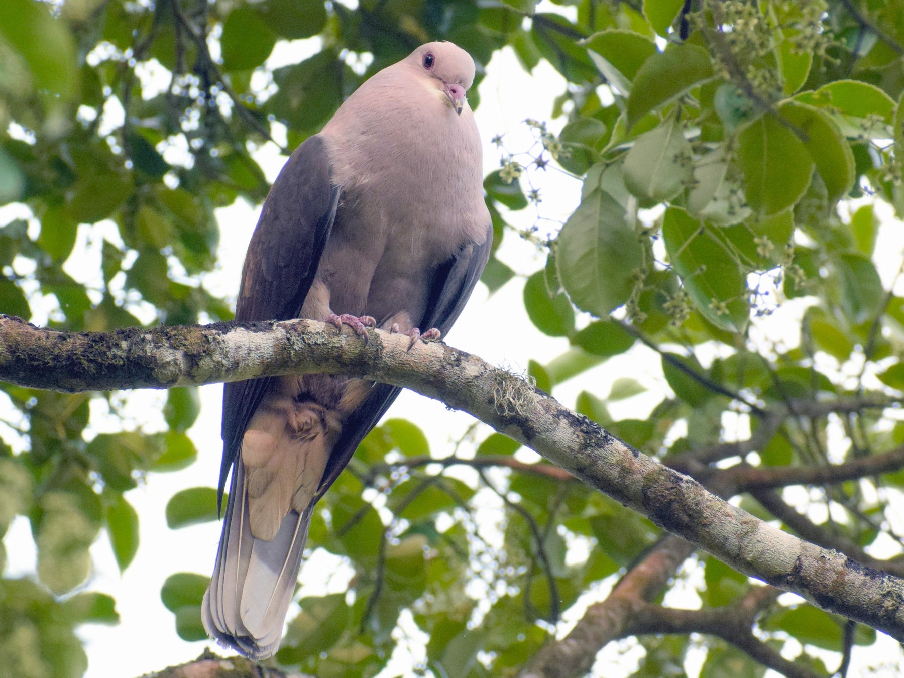 Mountain Imperial-Pigeon - Amal U S