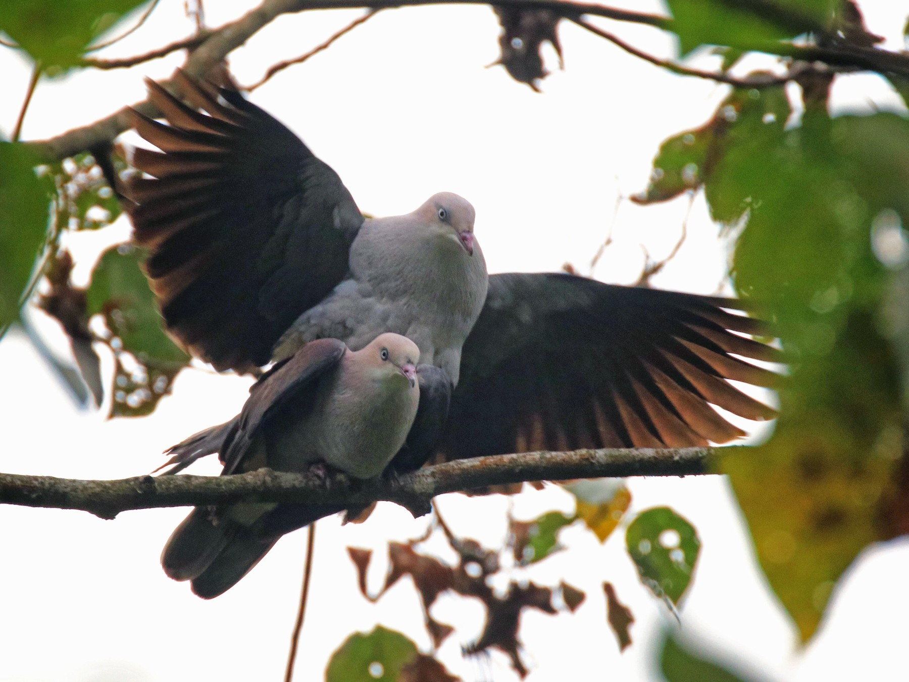 Mountain Imperial-Pigeon - Denis Tétreault