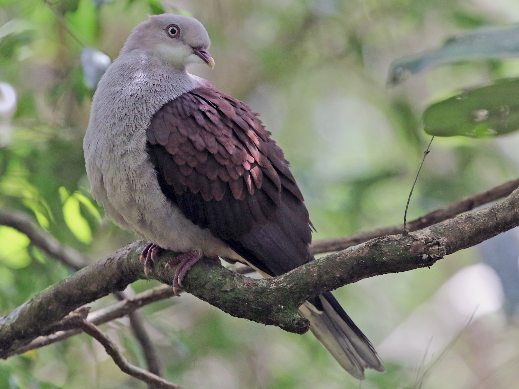 Mountain Imperial-Pigeon - Gerlinde Taurer