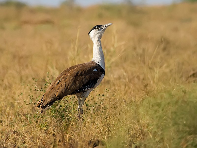 Great Indian Bustard - Viral  Pankaj