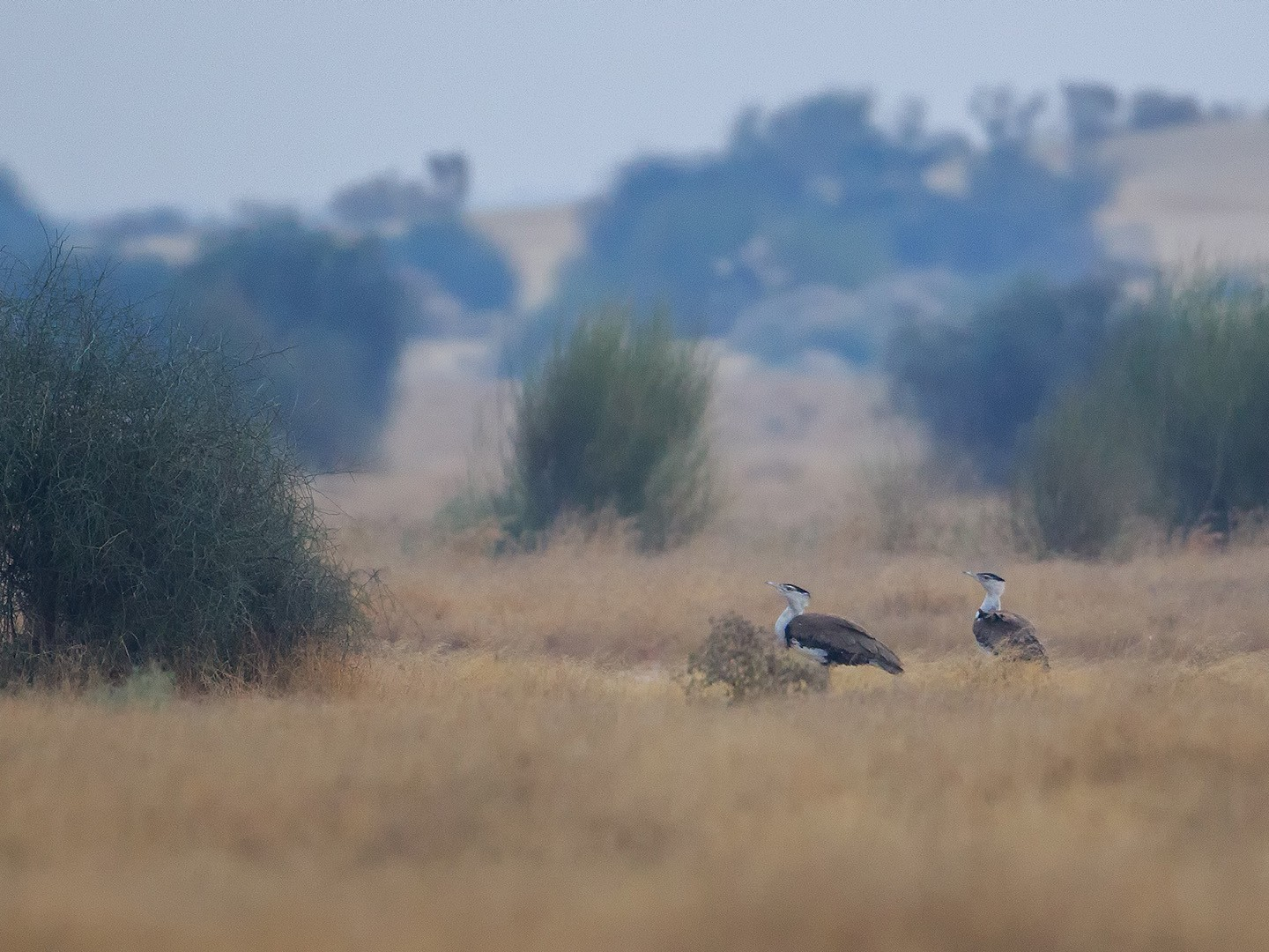 Great Indian Bustard - Subramanya C K
