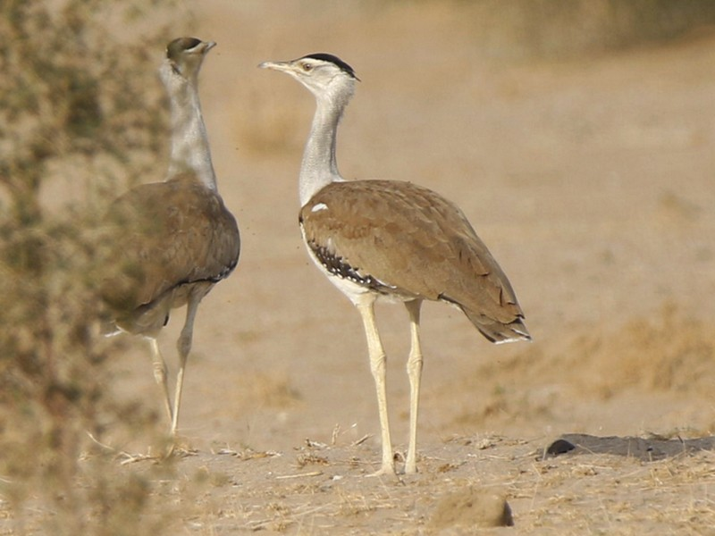 Great Indian Bustard - Subhadra Devi