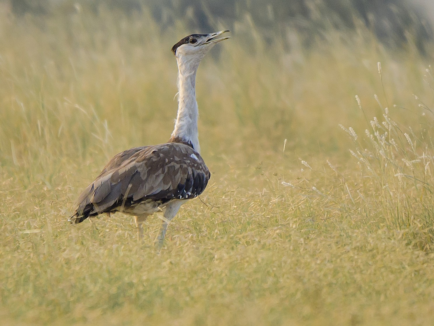 Great Indian Bustard - Saurabh Sawant