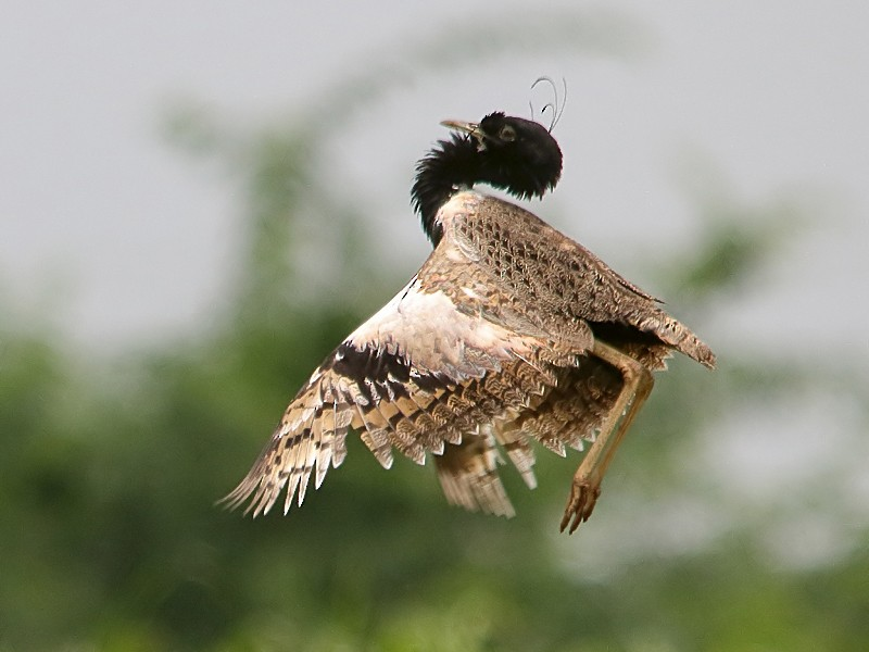 Lesser Florican - Sharad Agrawal