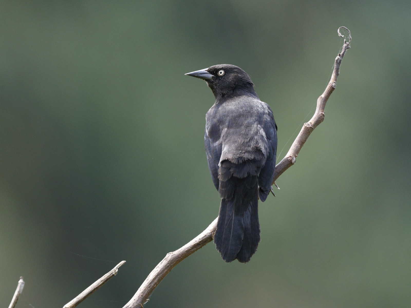 Pale-eyed Blackbird - Timo Mitzen