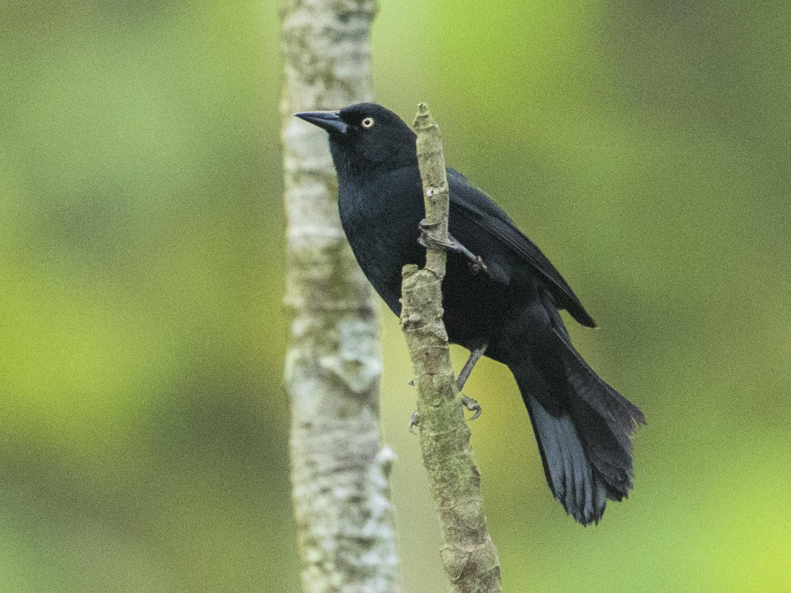 Pale-eyed Blackbird - Bradley Hacker