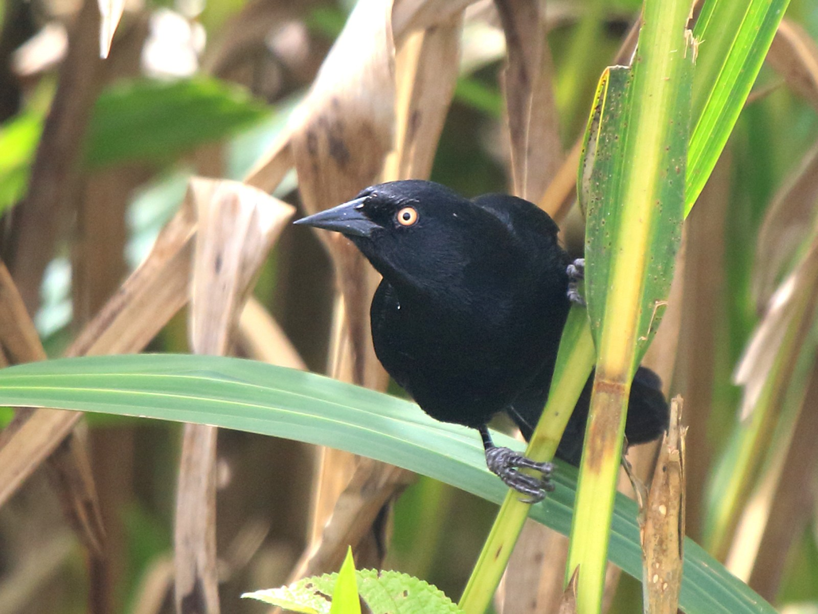 Pale-eyed Blackbird - Fabio Olmos