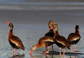 Black-bellied Whistling-Duck, ML142055521