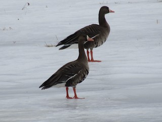 Greater White-fronted Goose, ML142077391