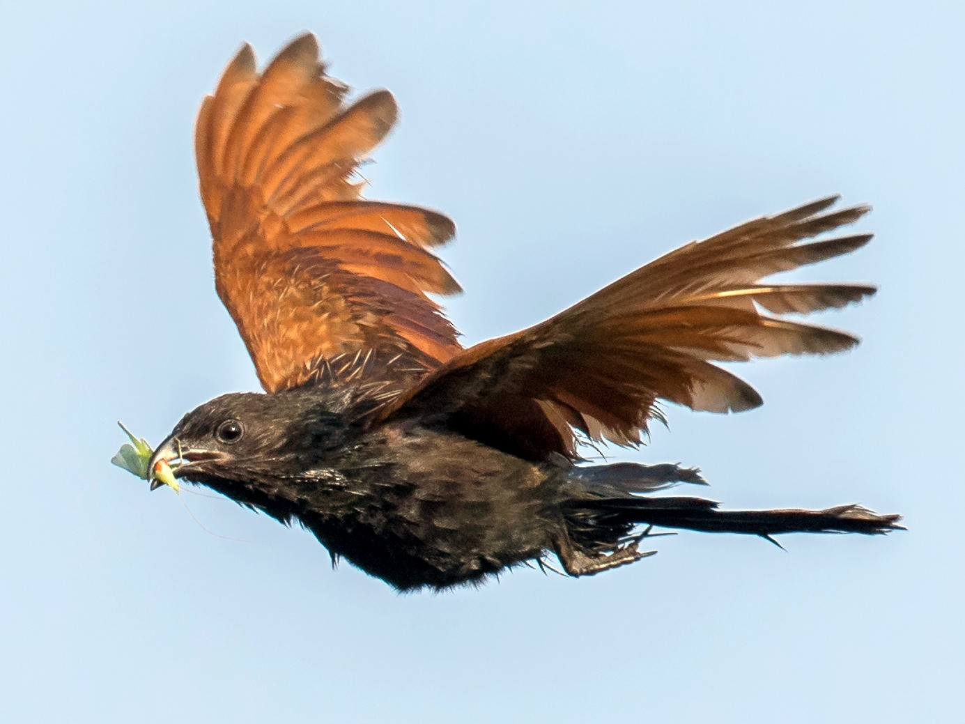 Lesser Coucal - Adrian Silas Tay