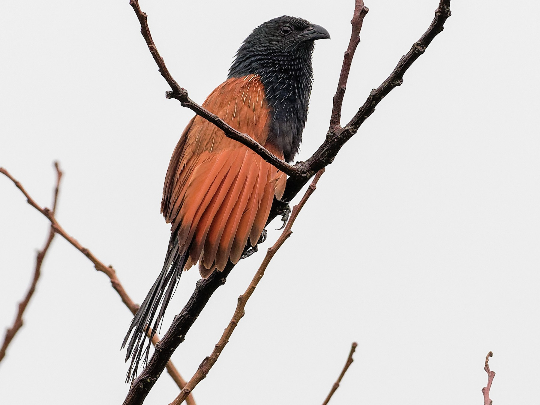 Lesser Coucal - Vincent Wang