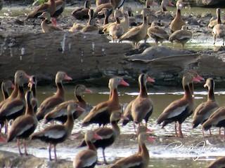 Black-bellied Whistling-Duck, ML142136801