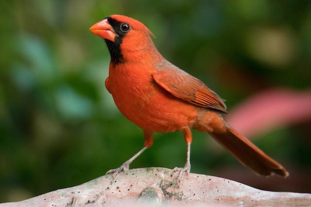 Male Northern Cardinal (presumed subspecies <em>floridanus</em>).