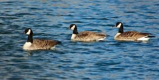 Canada Goose, ML142264261