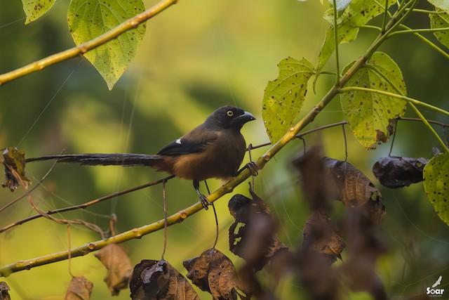 Andaman Treepie
