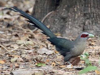 - Green-billed Malkoha