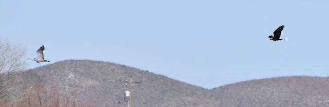 Golden Eagle pursuing Sandhill Crane (<em>Antigone canadensis</em>).