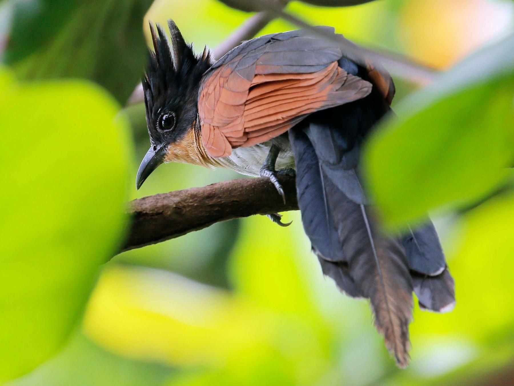 Chestnut-winged Cuckoo - Neoh Hor Kee