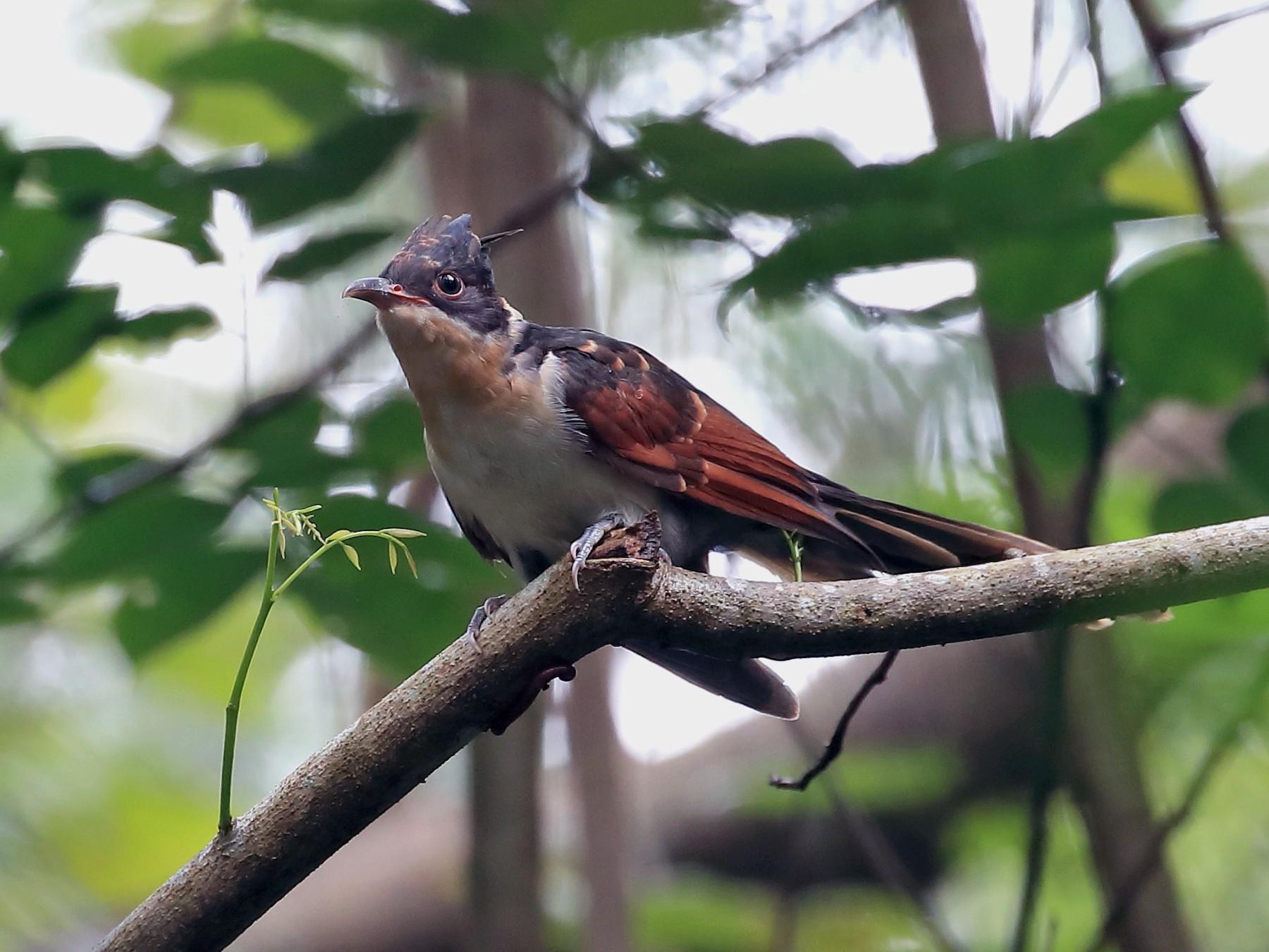 Chestnut-winged Cuckoo - Chun Fai LO