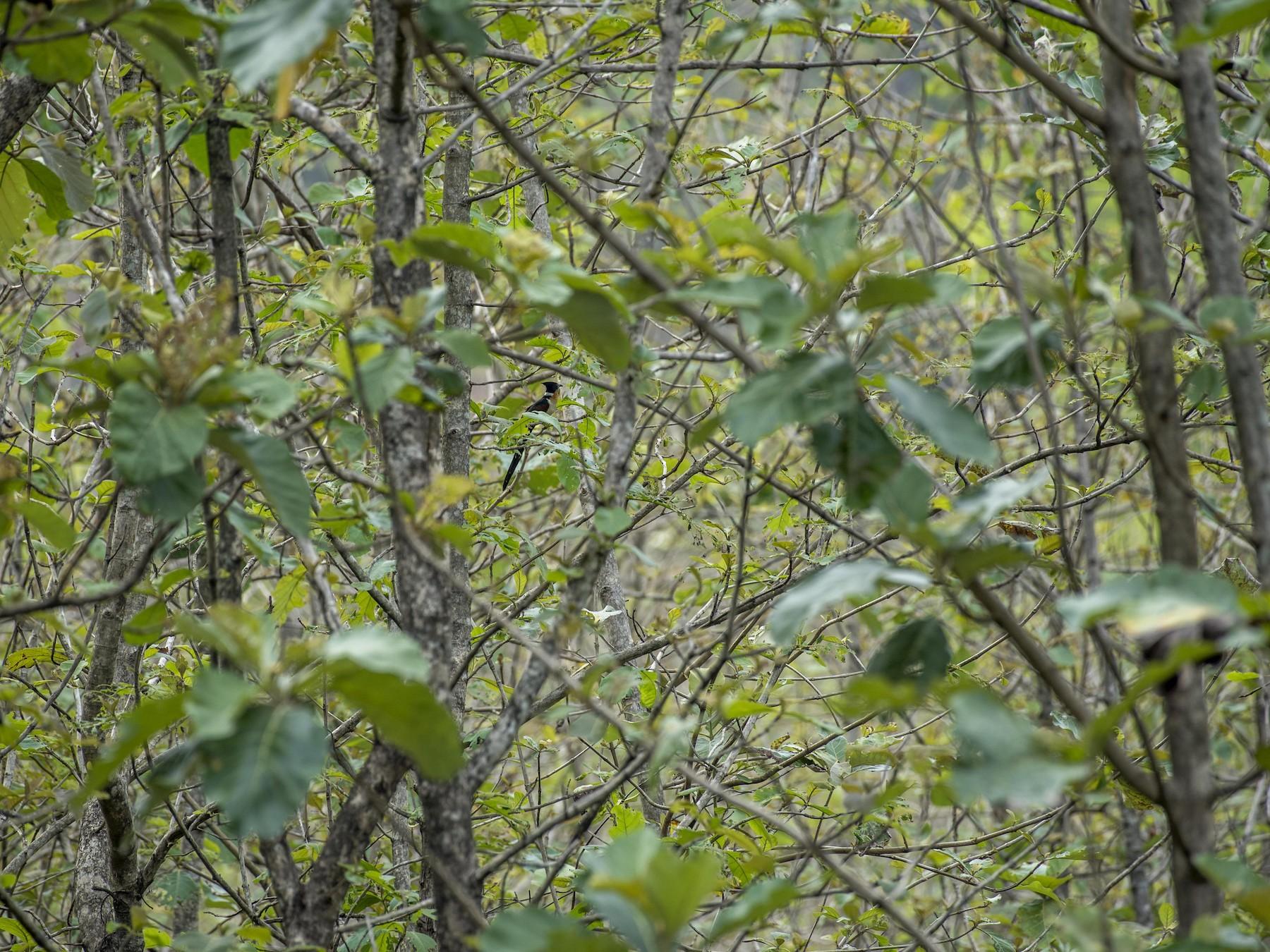 Chestnut-winged Cuckoo - Venugopala Prabhu S