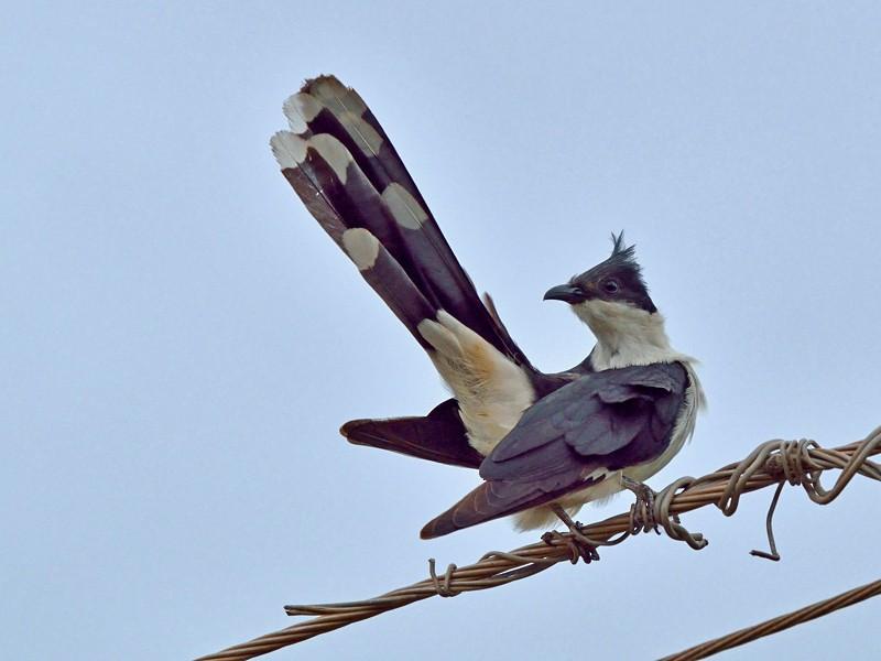 Pied Cuckoo - Vaidehi  Gunjal