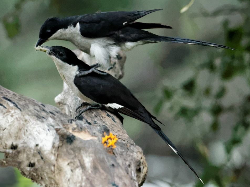 Pied Cuckoo - Able Lawrence