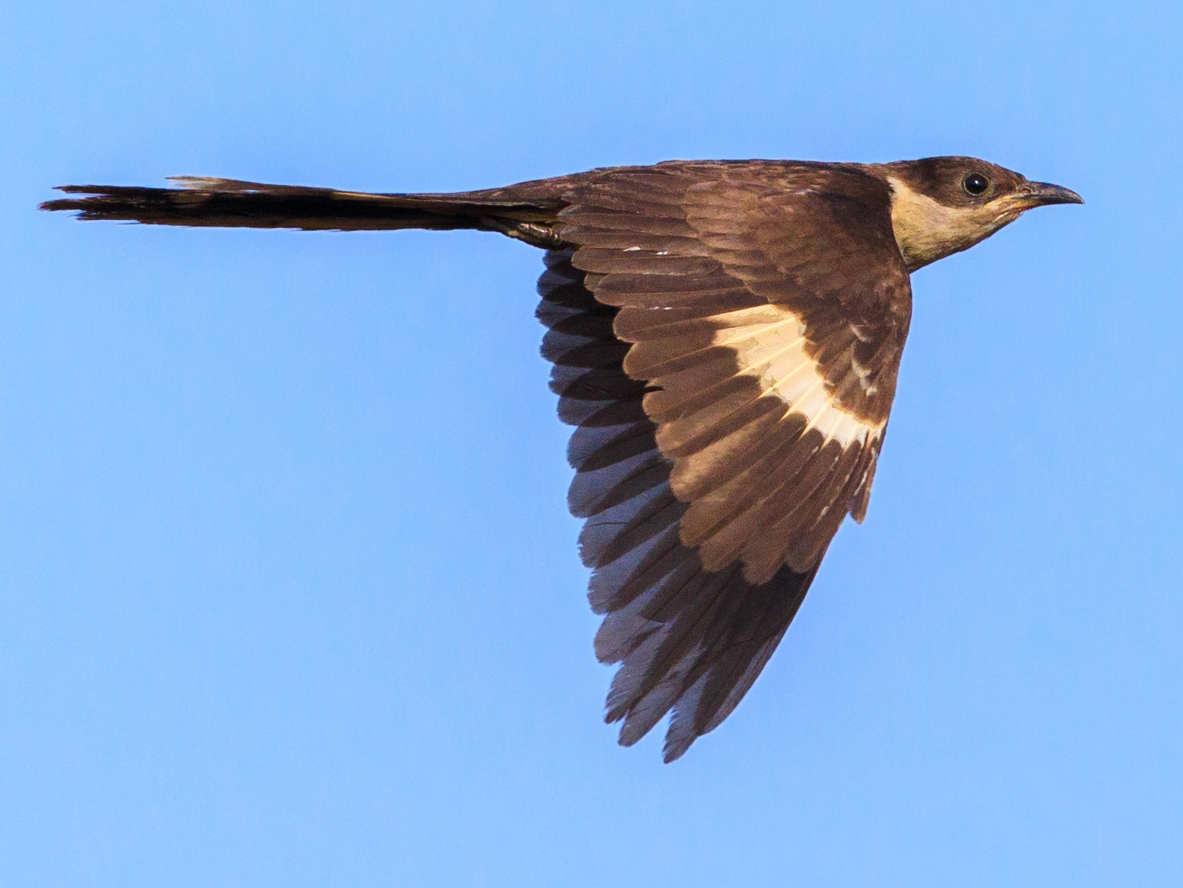Pied Cuckoo - Mohith Shenoy
