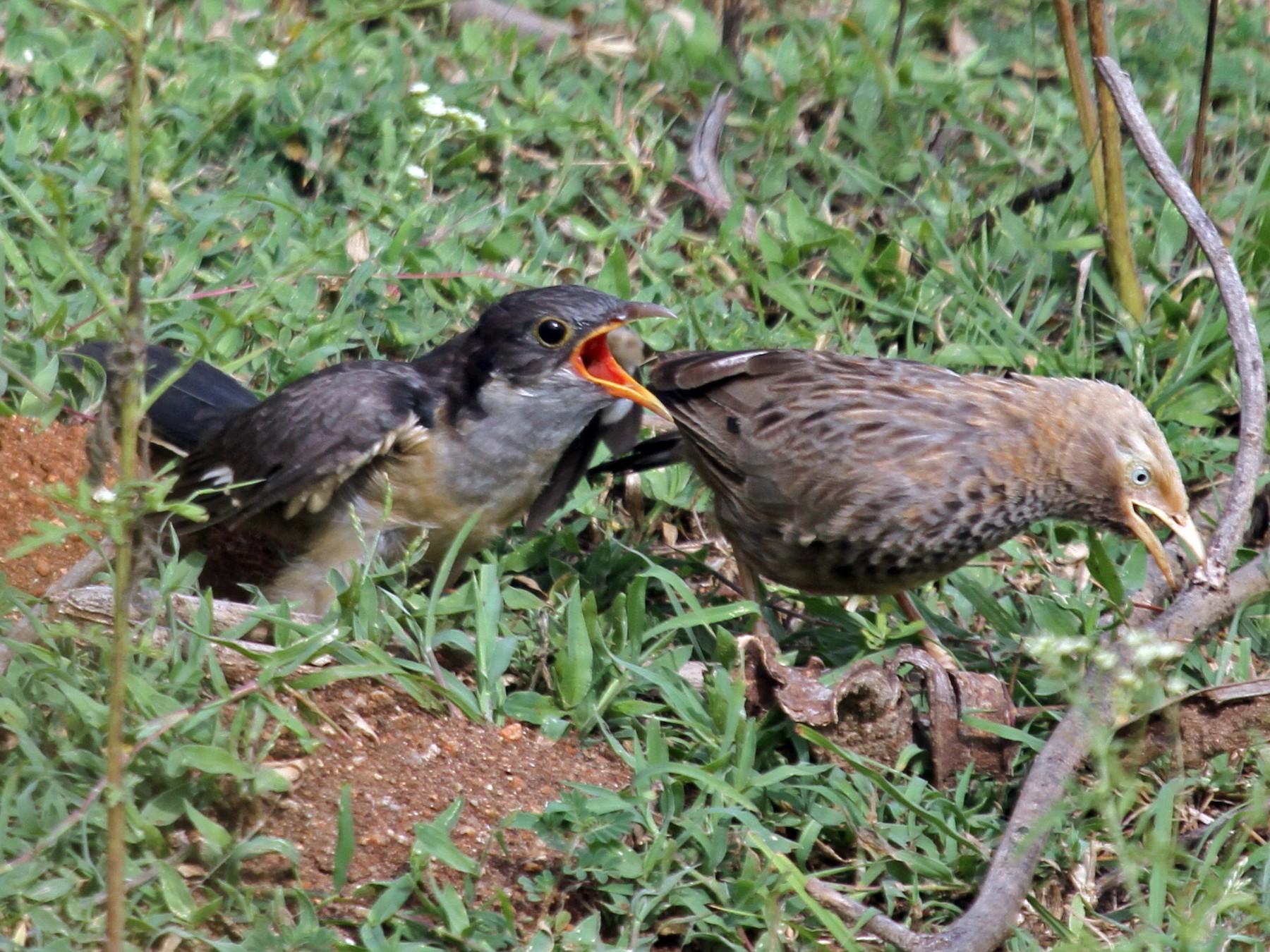 Pied Cuckoo - Vijaya Lakshmi