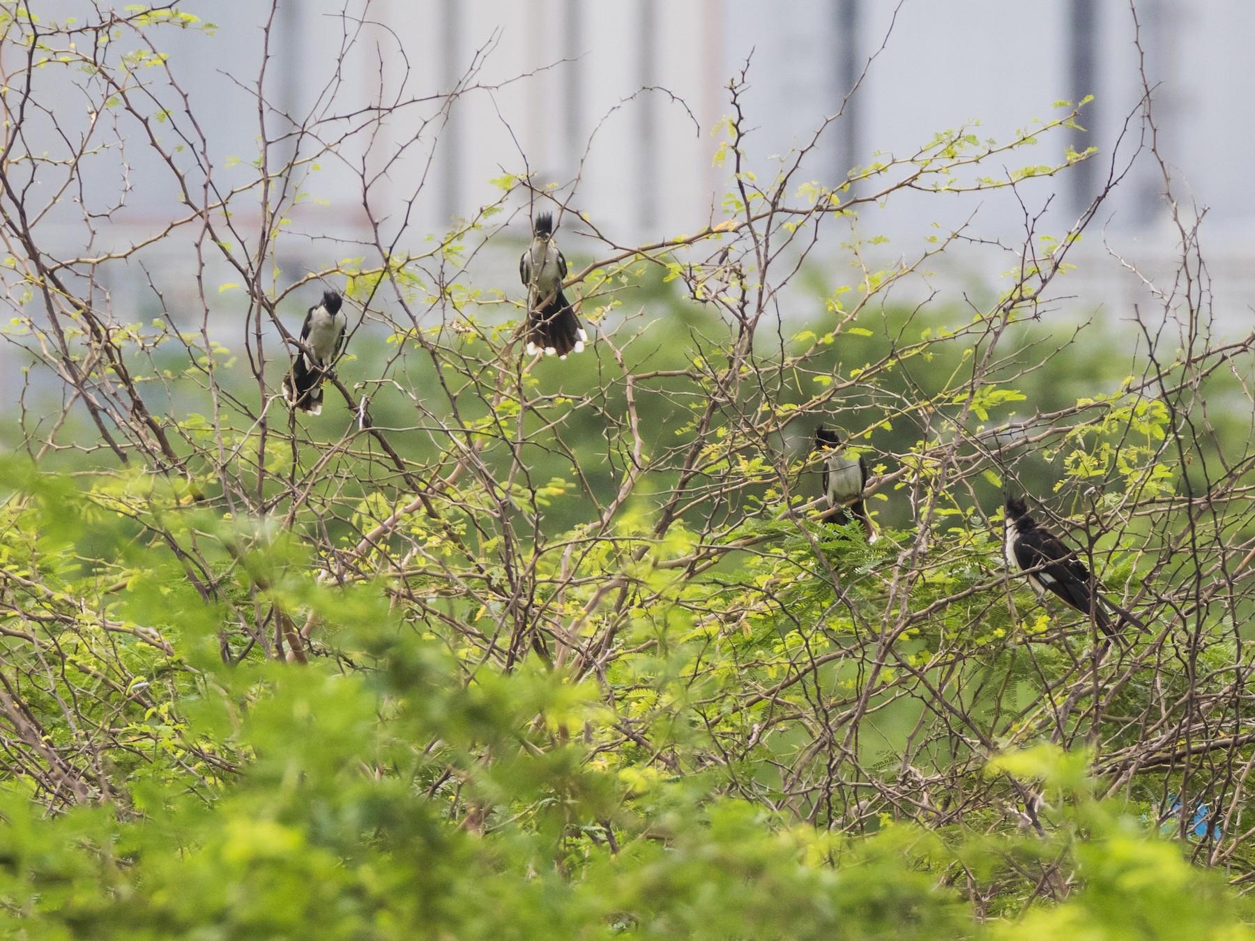 Pied Cuckoo - Rama Neelamegam