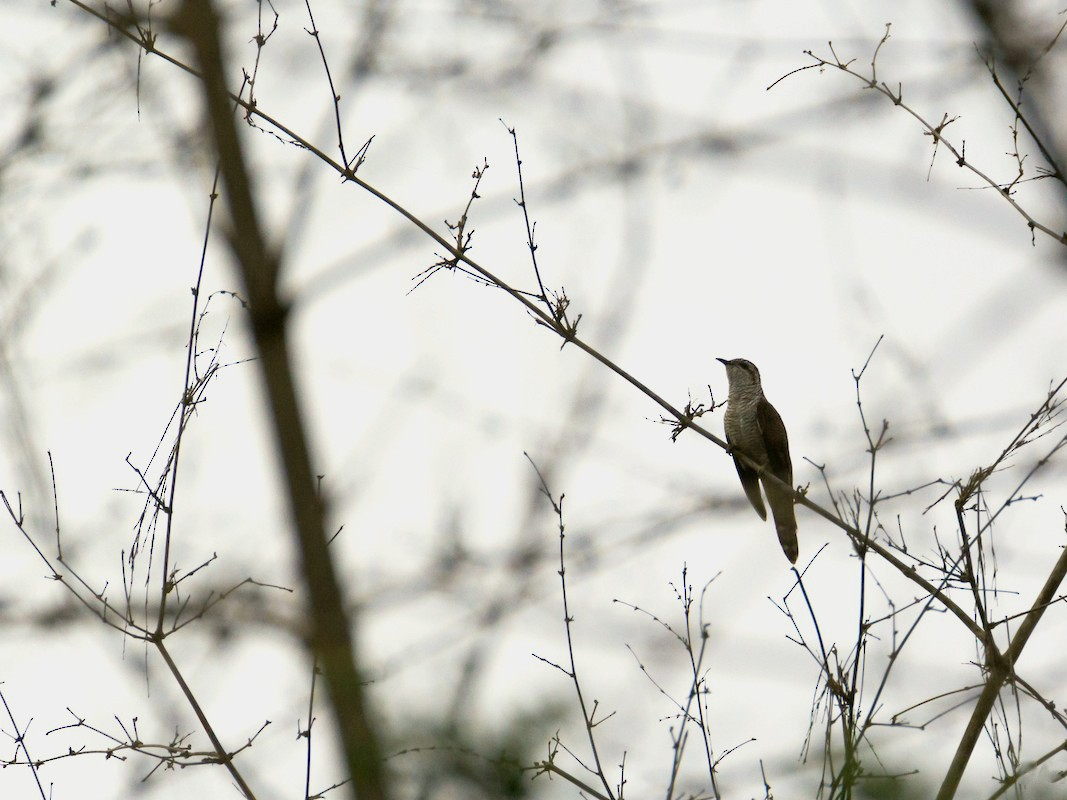 Banded Bay Cuckoo - Adithya Bhat