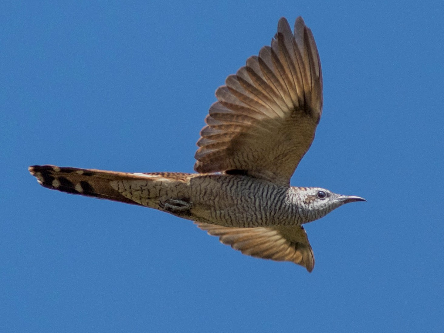 Banded Bay Cuckoo - Joachim Bertrands