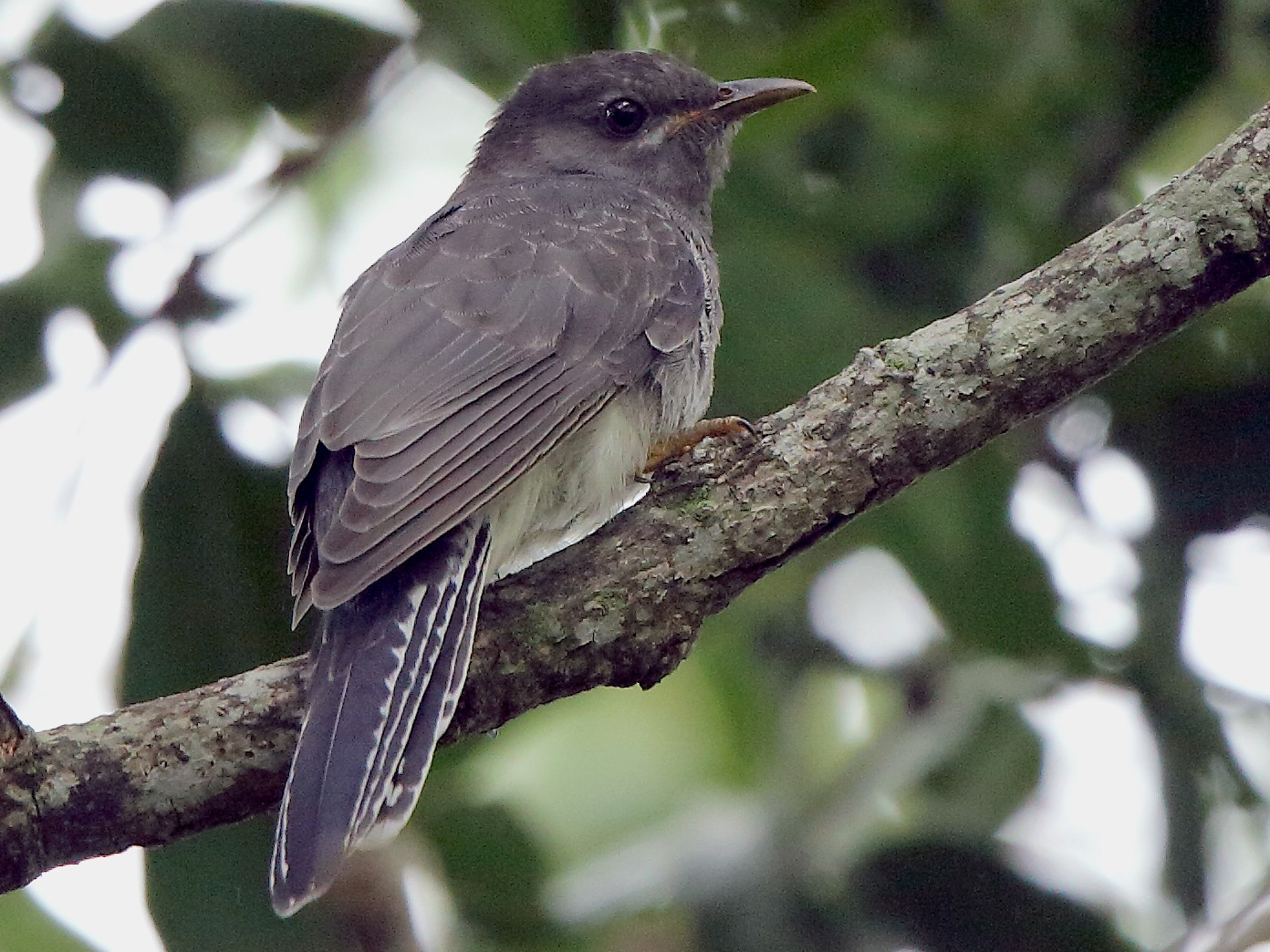 Gray-bellied Cuckoo - Albin Jacob