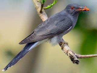 - Gray-bellied Cuckoo