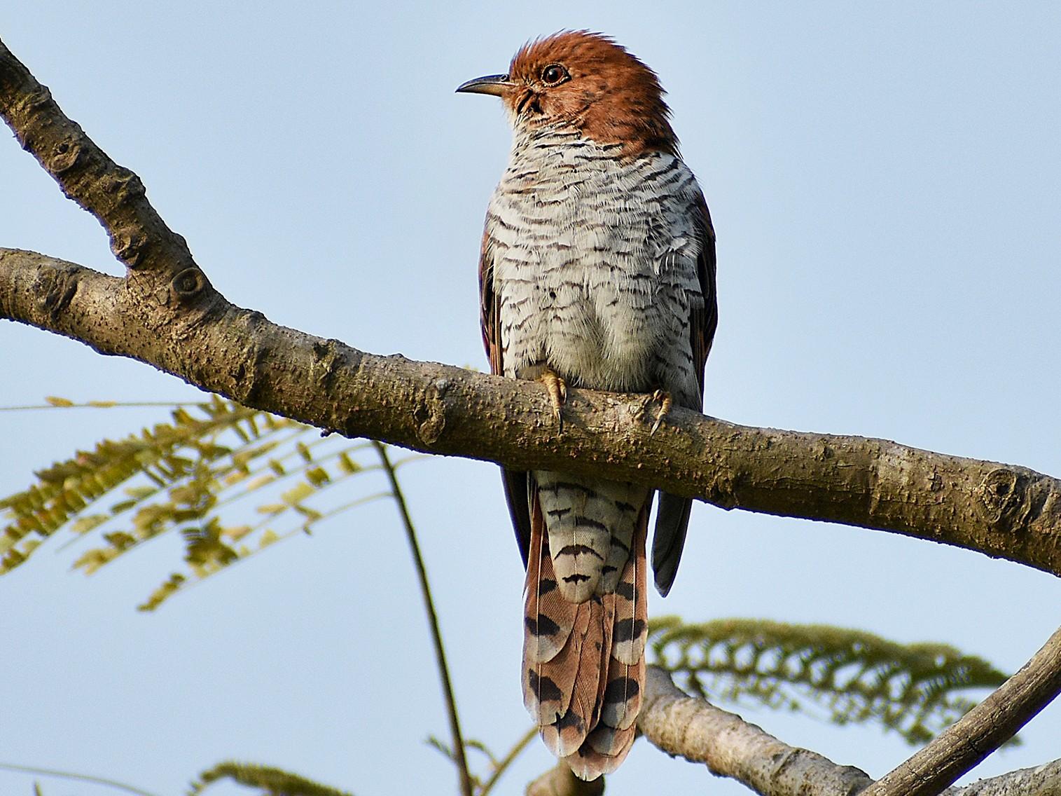 Gray-bellied Cuckoo - Kole Birders (Group Account)
