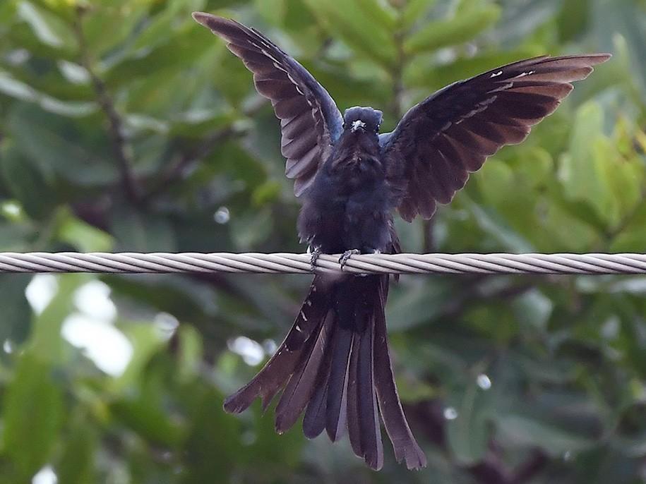 Fork-tailed Drongo-Cuckoo - Nishant Shah