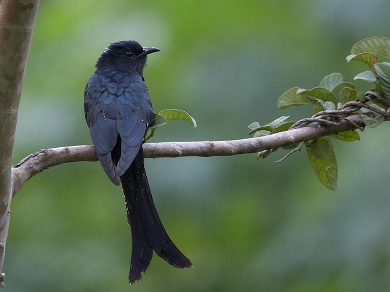 Fork-tailed Drongo-Cuckoo - Vinoba Anand