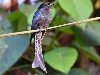 - Fork-tailed Drongo-Cuckoo