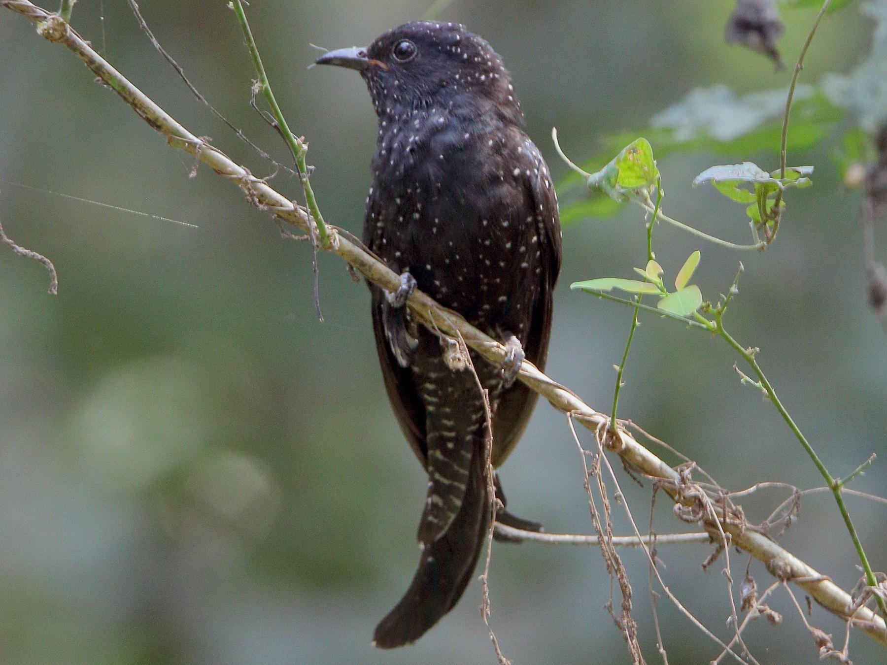 Fork-tailed Drongo-Cuckoo - Harshith JV