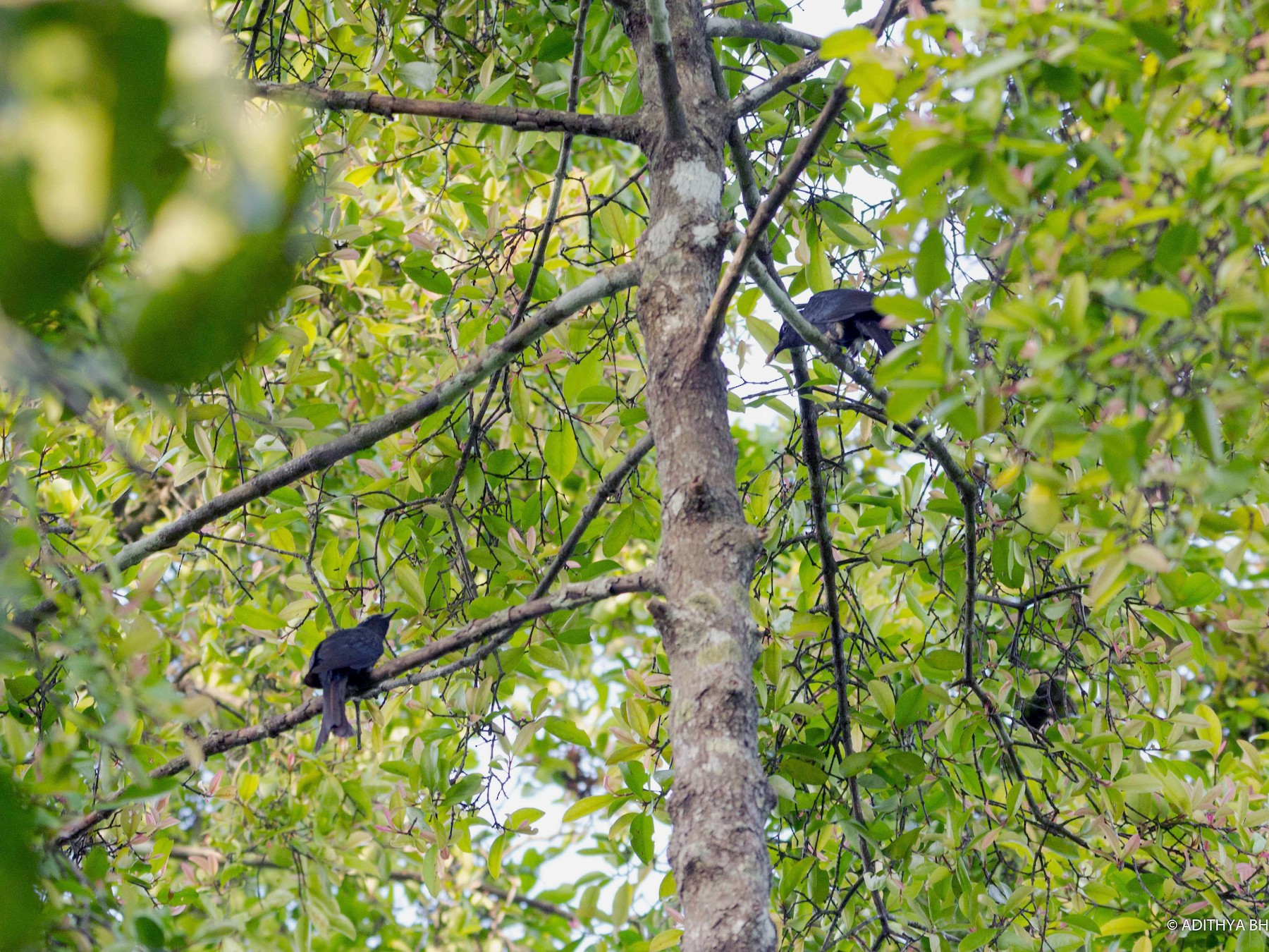 Fork-tailed Drongo-Cuckoo - Adithya Bhat