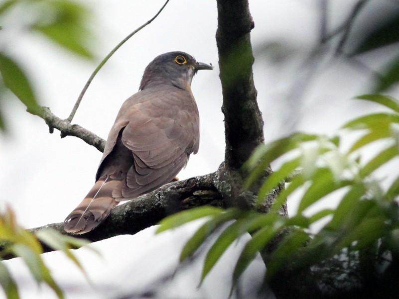 Large Hawk-Cuckoo - handbird CHen