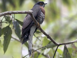 - Large Hawk-Cuckoo