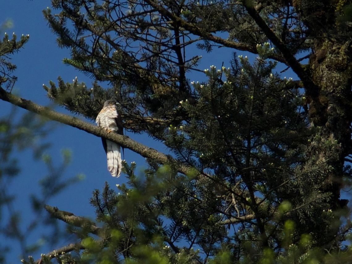 Large Hawk-Cuckoo - Qin Huang
