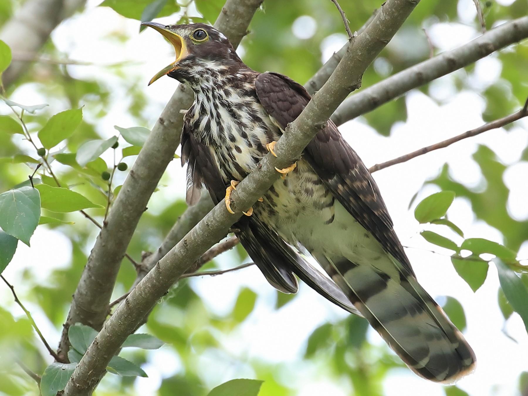 Large Hawk-Cuckoo - Chun Fai LO