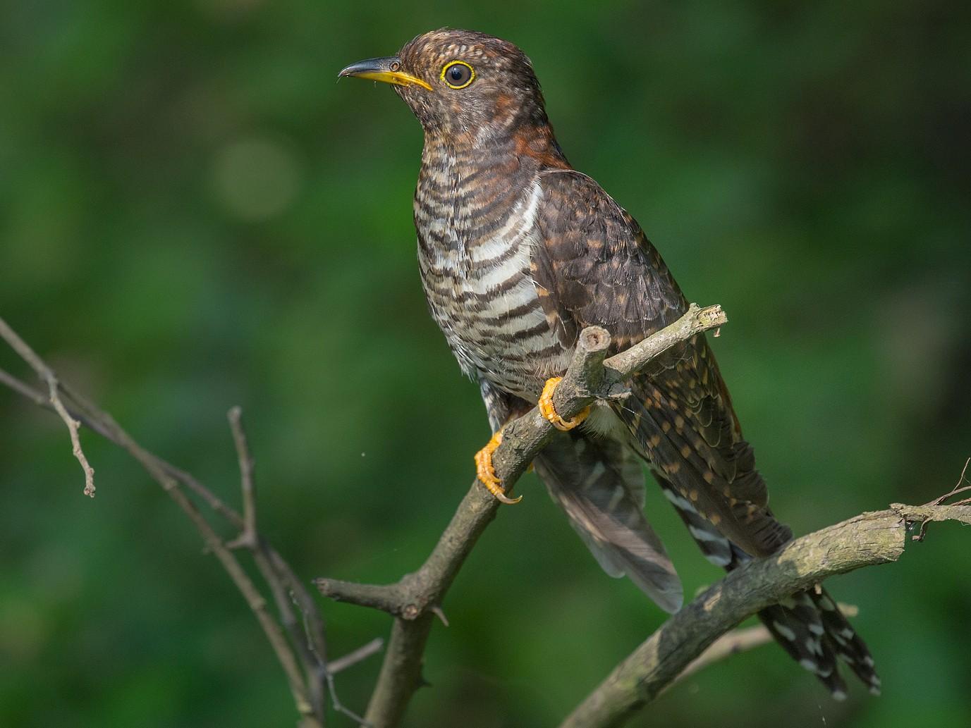 Lesser Cuckoo - Saurabh Sawant