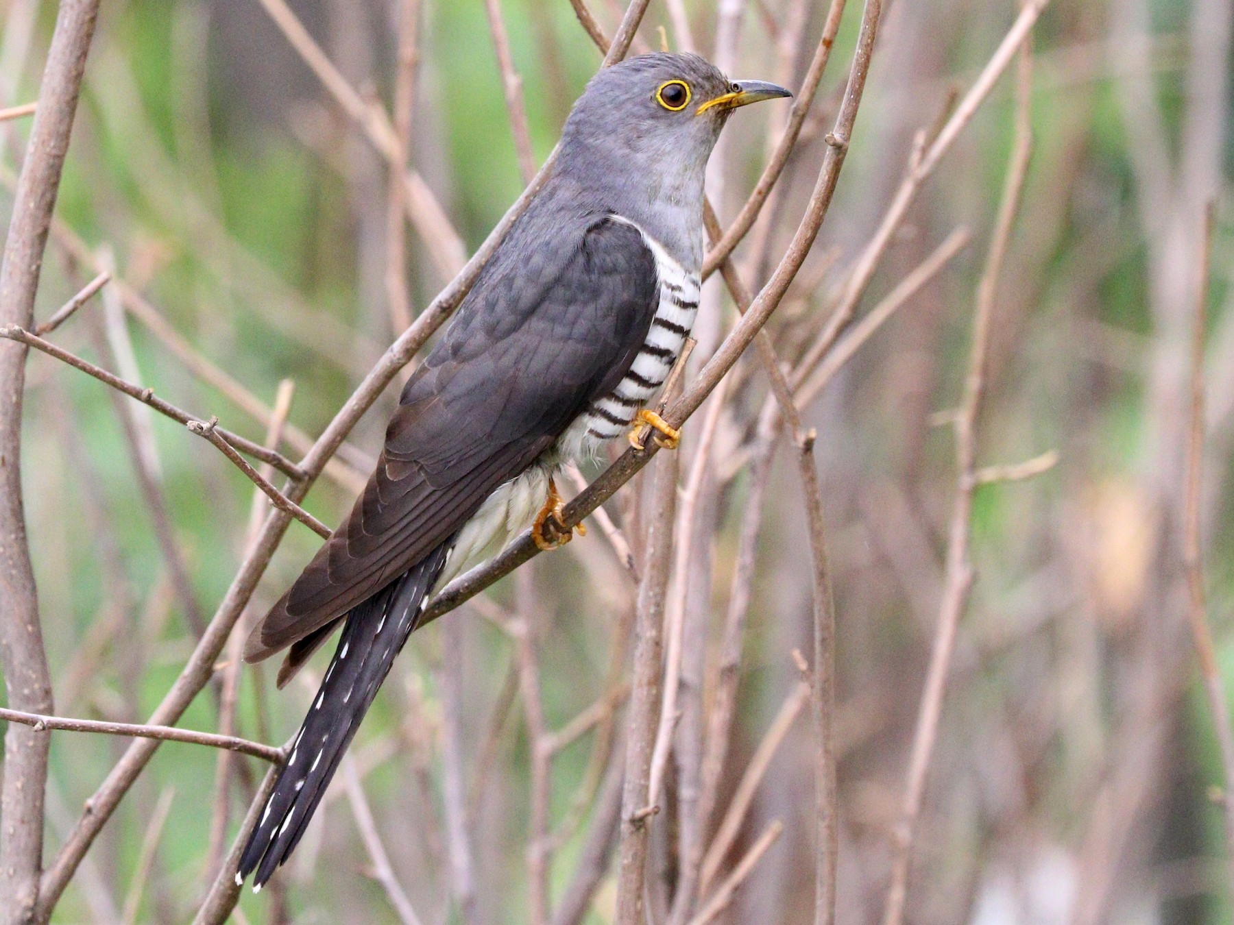 Lesser Cuckoo - Suresh  Rana