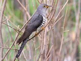 - Lesser Cuckoo