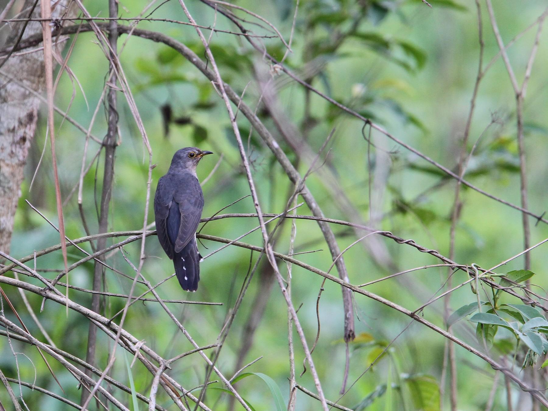 Lesser Cuckoo - Christoph Moning