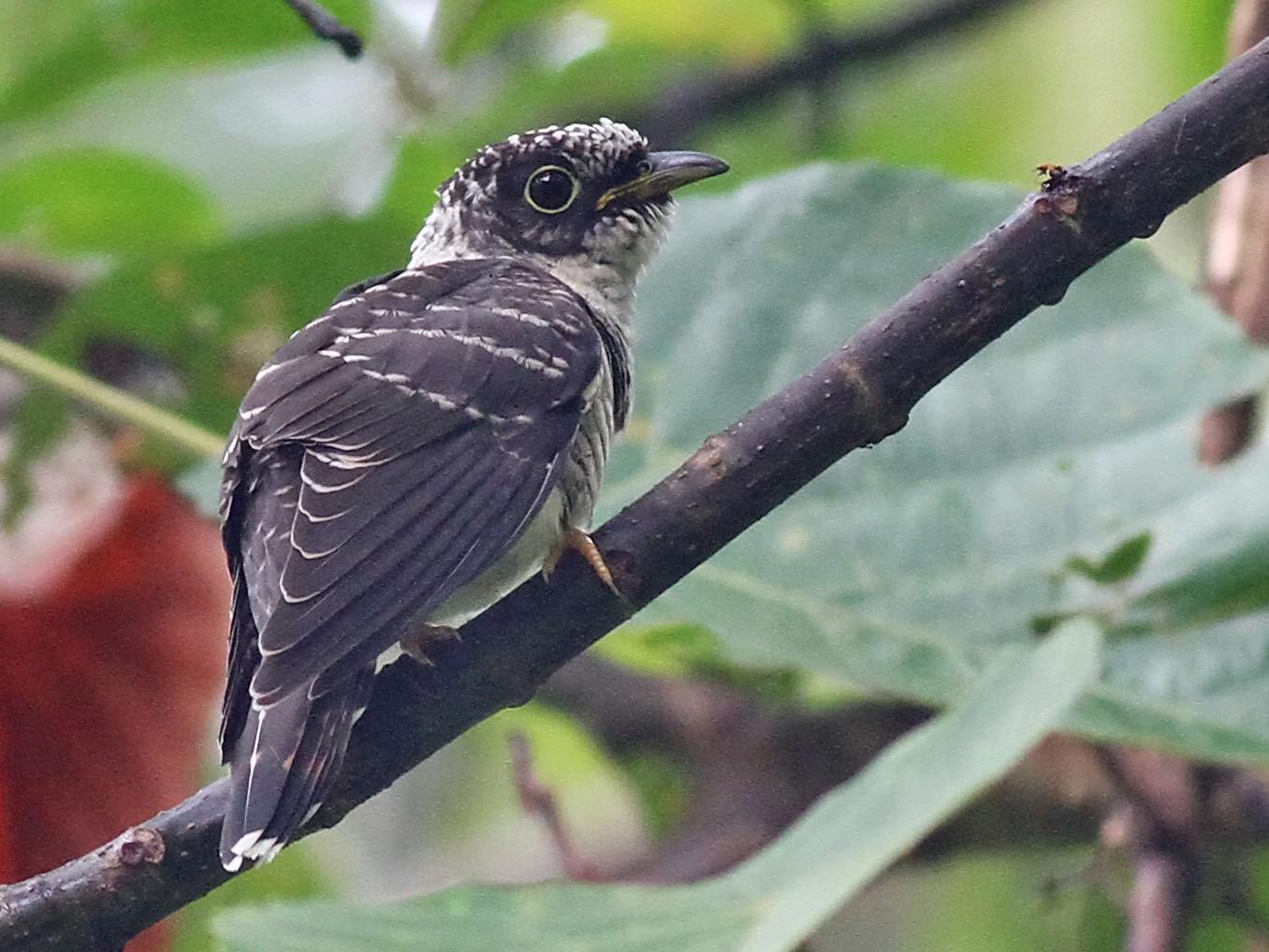 Indian Cuckoo - Ang TH